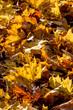 Herbstlich gefärbte Blätter