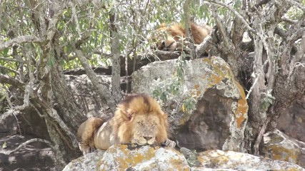 Two lions bask in the sun, Kenya