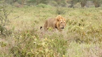 Lion walking in the grass, Kenya