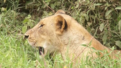 Lioness lying in the grass, Kenya