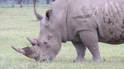 Big rhino chewing grass, Kenya
