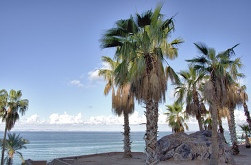 Coconut palm near baja california sea shore