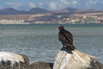 buzzard red head on the sea rocks