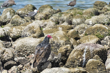 buzzard red head on the sea rocks