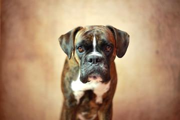 Neugieriger Boxer