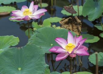 Beautiful wild lotus flowers blooming on pond.