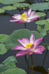 Beautiful wild lotus flowers blooming on pond.