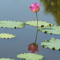 Beautiful wild lotus flower and reflection on pond.