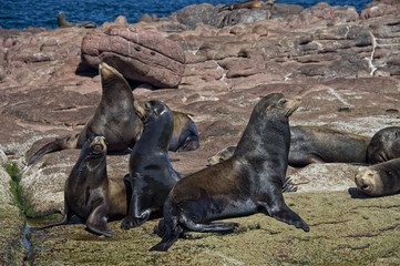 Sea lions seal while relaxing on the rocks