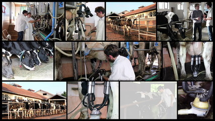 Milk Production at Dairy Farm
