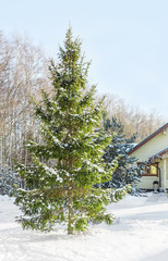 fir-tree near the wooden house in a frosty day