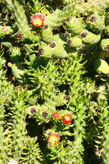 plante cylindropuntia