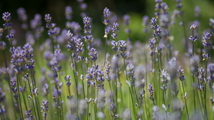 Flowering sprigs of lavender swaying in the wind