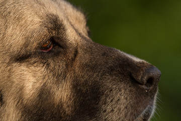 Kangal Gesicht