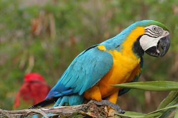 Colorful blue parrot