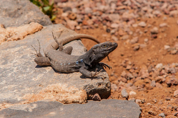 lizard on a hot stone