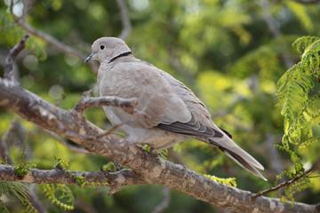 Collared Dove (Streptopelia turtur)