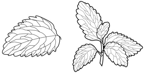 Stevia Leaf - Illustration