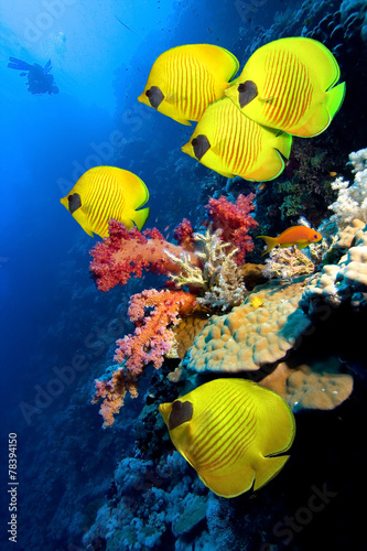 Obraz na Szkle Coral reef and Masked Butterfly Fish