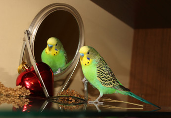 Bright Green Budgie with the Mirror