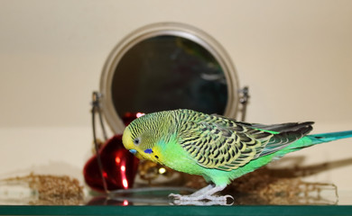 Bright Green Alone Budgie in front of the Mirror