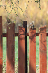 one female house sparrow on a fence