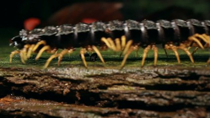 Giant Flat-backed millipede (Polydesmidae), Ecuador