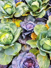 Green and purple cabbage in vegetable garden
