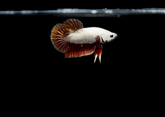 White Betta Fish Siamese fighting fish on black background
