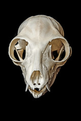 skull of Lemur catta