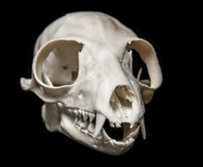 skull of Lemur catta