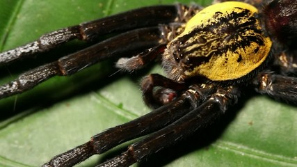 Large spider on a leaf in the rainforest