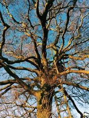 Eichenbaum mit Hochsitz