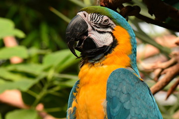 South American Macaw portrait