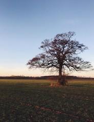 Eichenbaum mit Leiter