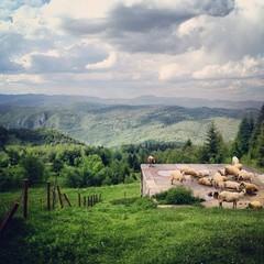 овцы на природе в деревне