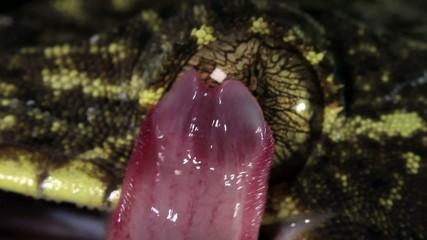 Turnip tailed gecko (Thecadactylus solimoensis) cleaning eye