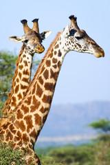 Heads of two giraffes