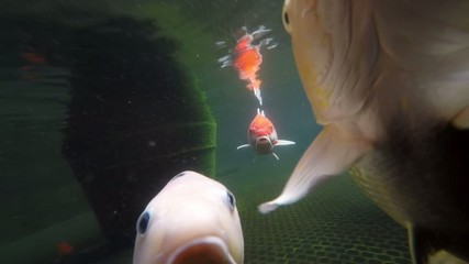 Koi ponds fish swimming close up