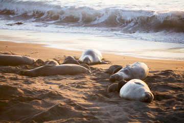 sea lions at sunset in Big Sur