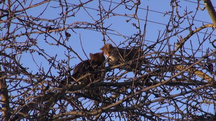cats  on spring apple tree treetop branches in city garden