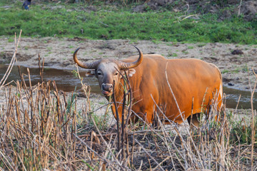 Male Banteng  who was in Red List of Threatened Species