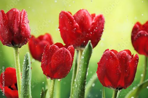 Tulip flowers - 78414548