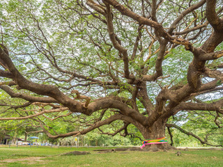 Magnificent big Rain Tree with massive trunk, Thailand