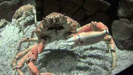 Japanese spider crab lifting its claw to its face.