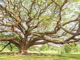 Magnificent big Rain Tree with massive trunk, Thailand