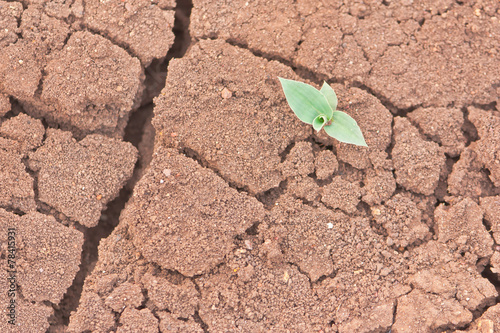 Shoot of young grass bud on drought soil - 78415931