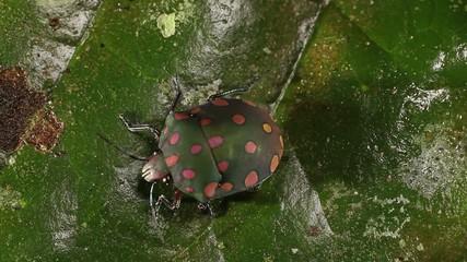 Brightly coloured hemipteran bug on a leaf, Ecuador
