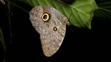 Owl butterfly (Caligo eurilochus) roosting at night