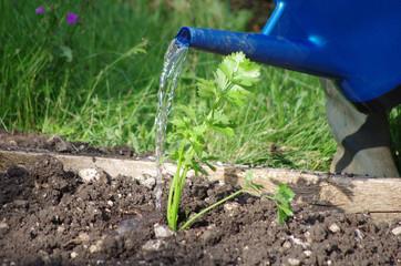 jardinage - arrosage de plant de celeri